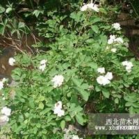 楚景园林供应蔷薇30~80高