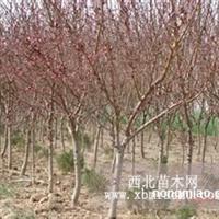 供应:红叶碧桃、榆叶梅、紫叶李、紫薇等品种
