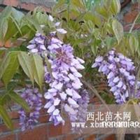 楚景园林供应2公分紫藤