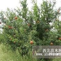 供应:石榴树4、5、6、7、8公分