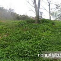 白三叶直销 江苏沭阳盛大苗木场供应白三叶 货源充足