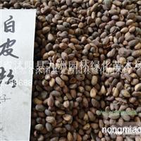 供应白皮松种子,各种松柏种子,规格齐全