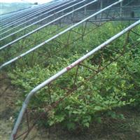 蓝莓苗1---4年蓝莓