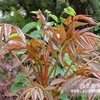 香椿树苗  香椿种子