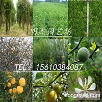 枸橘树苗价格
