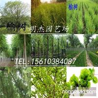 榆树苗价格