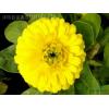 供应地被植物-金盏菊,别名常春花、黄金盏、长生菊、醒酒花、