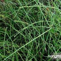 水生植物原叶节节草,节节草苗,别称土麻黄,草麻黄,木贼草