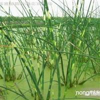 水生植物花叶水葱,金钱水葱,花叶水葱直销基地,