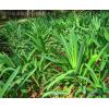 地被植物-石蒜,红花石蒜,苏北石蒜,沭阳石蒜基地,石蒜价格