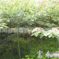 中华灯台树,灯台树基地,又名瑞木、女儿木、六角树