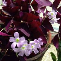 地被草花-紫叶榨浆草,紫叶炸酱草苗,又名紫叶酢浆草