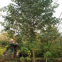 枸树,枸树苗,野生构树苗,枸树直销基地,枸树价格