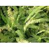 供应地被植物-肾蕨,又名 蜈蚣草、圆羊齿、篦子草、石黄皮