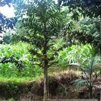 大量供应鱼尾葵苗木 成都千蜀园林