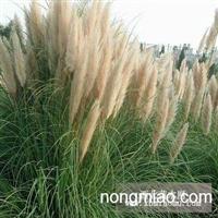 莆苇工程苗木低价供应