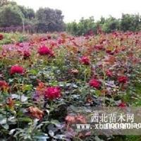 湖南月季种植基地/丰花月季小苗/月季花价格/月季花报价表格