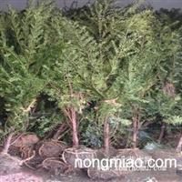 三四五月能否栽种红豆杉?胸径2-3-4-5-6公分红豆杉报价