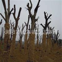 湖南移栽朴树 野生骨架朴树 30公分朴树价格 朴树最新报价