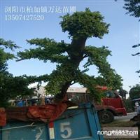 榆树产地在哪里?15公分造型榆树最新价格