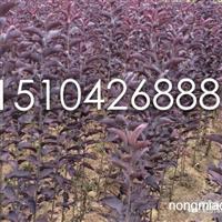 紫叶稠李大苗,金叶复叶槭