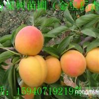 出售新疆杏树苗