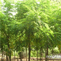 甘肃庆阳2-5公分刺槐大量供应