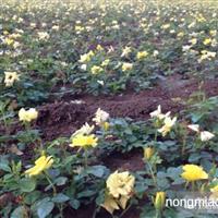 供应各种品种月季、黄帽月季、月季苗
