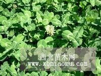 常年批发白三叶种子