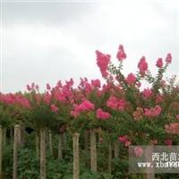 本公司常年对外直销 红花紫薇