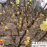 腊梅主产地区 常年供优质腊梅苗 根块大 树形匀称