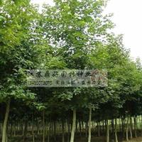 枫杨、杜英、杜仲、大树供应