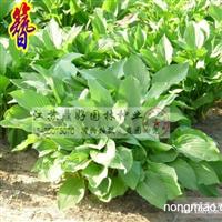 玉簪、鸢尾、葱兰、草本植物直销