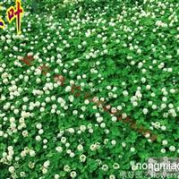白三叶、百慕大、马尼拉、草本植物直销