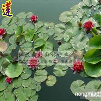 睡莲、藕莲、芦苇、水生植物批发