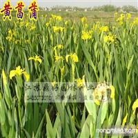 黄菖蒲、黄花鸢尾、水生植物批发