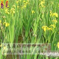 黄花鸢尾、黄菖蒲、水生植物批发