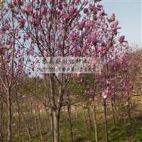 玉兰绿化苗木基地 常年供紫玉兰苗木 农户价出售