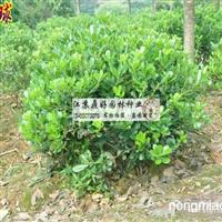 海桐苗木主产地区 供60公分海桐球