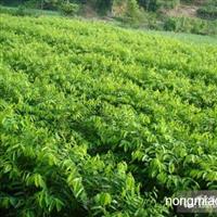 供应沉香种子 黄花梨种子 桂花种子 楠木种子和苗