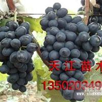天津葡萄树苗 哪里有葡萄树苗 葡萄树苗多少钱