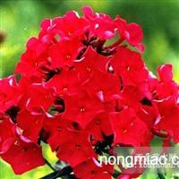 大量出售耐寒宿根花卉,适合园林绿化