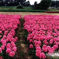 台安县核心花卉种植园大量种植销售耐寒宿根花卉