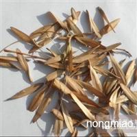 供应新鲜小叶白蜡树种