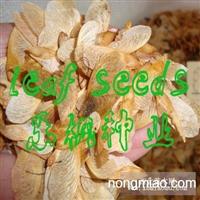 2012年6月 第一批美国红枫种子