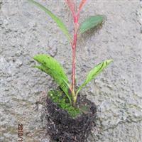 小叶红叶石楠穴盘苗