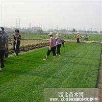 最新的草坪价格|栾城优质草坪