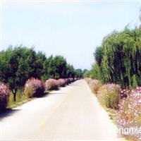 供应自产扫帚梅花籽(波斯菊种子)