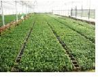 供应红豆杉苗