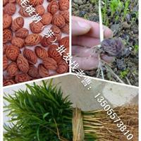 安徽砀山供应优质毛桃核、毛桃芽